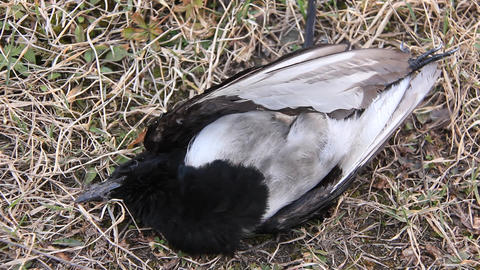 Dead bird Footage
