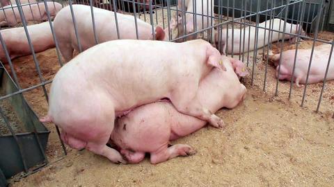 Pigs Sex 3 stock footage