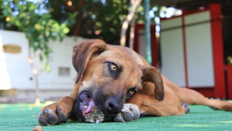 Dog with bone Footage