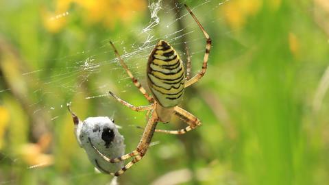 Garden spider. Araneus diadematus Footage
