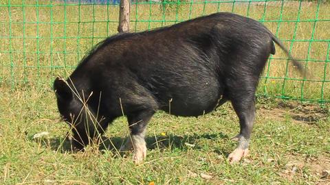 Black hog Live Action
