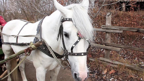 White horse in harness Footage