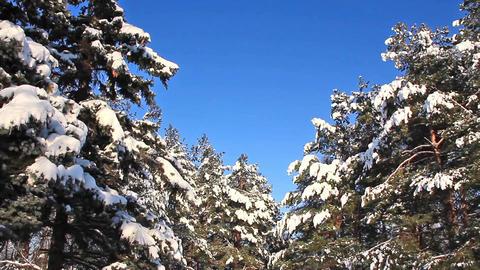 Pine-trees under snow Footage