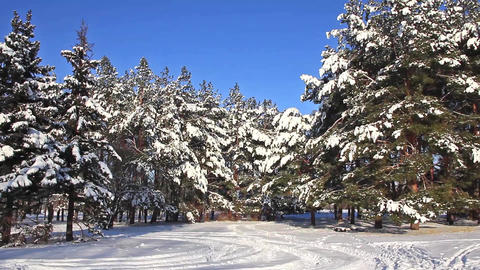 Pine-trees Under Snow stock footage