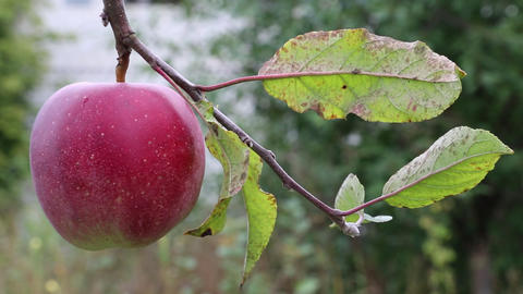Red ripe apple on a branch with green leaves Footage