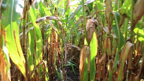 Walk through the corn field Footage