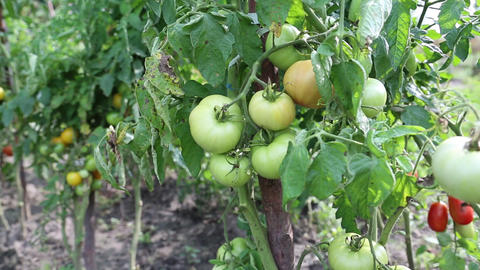 Unripe tomatoes in hothouse Footage