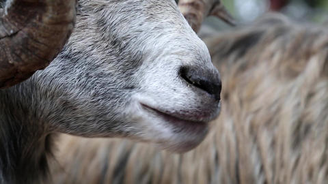 White sheep with big horns eating Footage