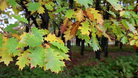 Green and yellow oak foliage Footage