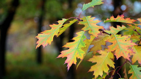 Yellow oak leafs Footage