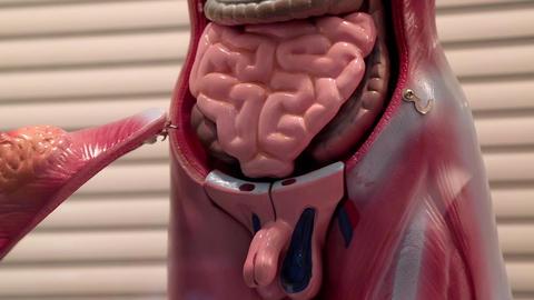 Model of human internal organs Footage