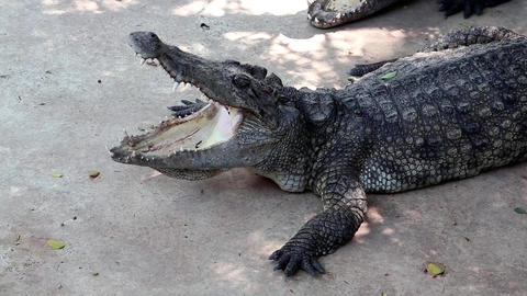 Crocodile with open mouth Live Action