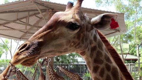 Beautiful giraffes Footage