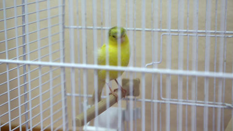 Canary bird in the cage Footage