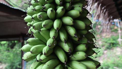 Bunch of green bananas Footage