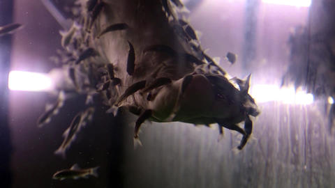 Garra Rufa fishes cleans epidermis from feet Live Action