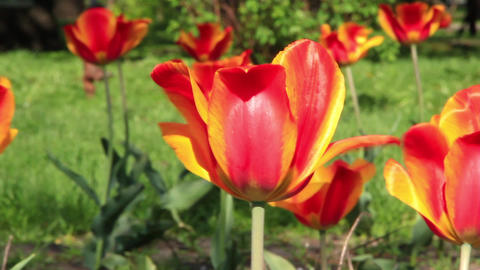 Red tulip Footage
