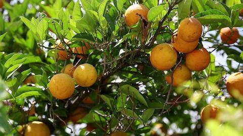 Ripe oranges on tree in garden Footage