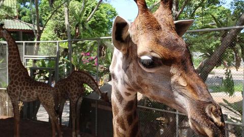 Giraffe in zoological garden Footage