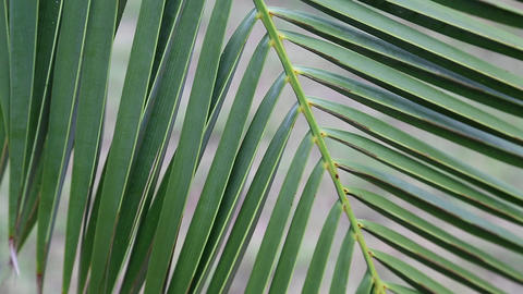 Date palm green leaves Stock Video Footage