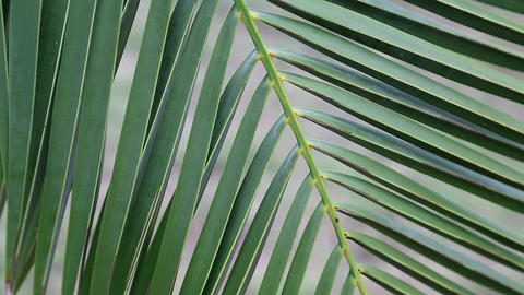 Date palm green leaves Footage