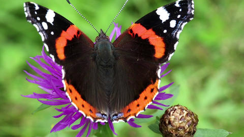 Butterfly sit on purple flower Footage