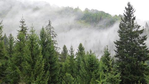 Mist among coniferous trees Footage
