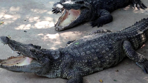 Big crocodiles Live Action