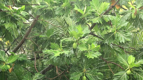Breadfruit tree under pouring rain Footage