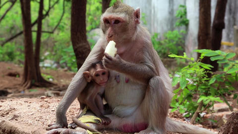 Rhesus macaque with a cub sits on the ground and eats banana Footage