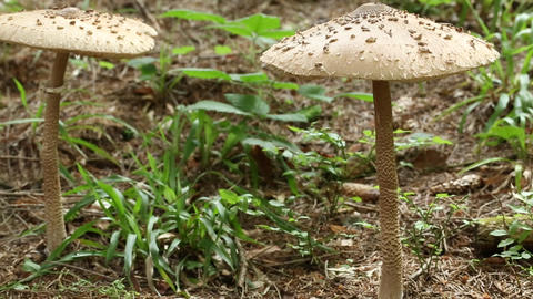 Two big mushrooms in forest Footage