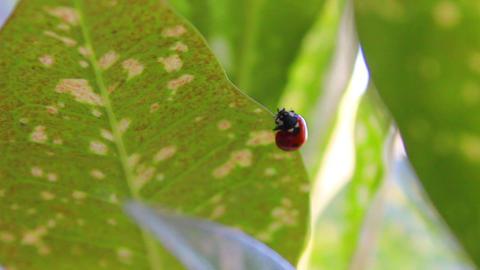 Ladybug 4 Stock Video Footage