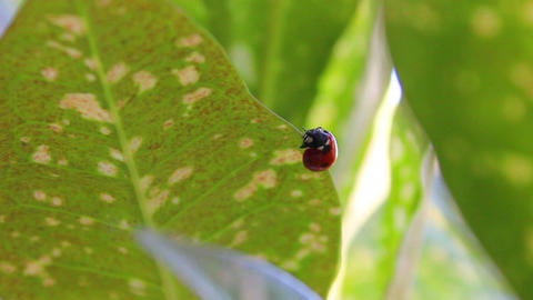 Ladybug 4 Stock Video Footage