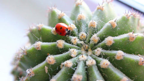 Ladybug in the cactus 2 Stock Video Footage