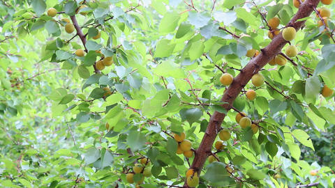 Apricots 2 Stock Video Footage