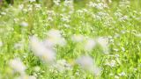 field chamomile 10 Footage