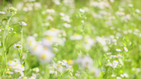 field chamomile 10 Stock Video Footage