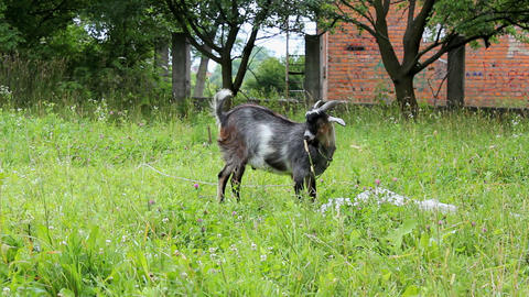 Goat 5 Stock Video Footage