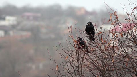 Ravens on tree 5 Stock Video Footage