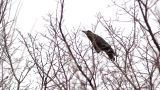 Ravens on tree 8 Footage
