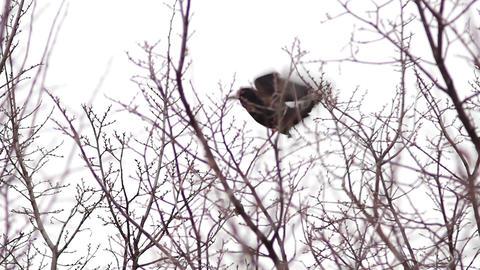 Ravens on tree 8 Stock Video Footage