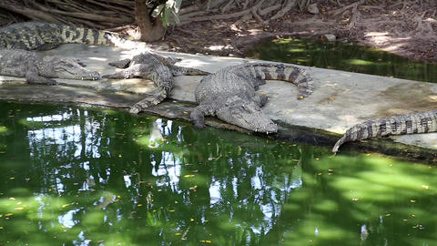 Crocodiles are near the water Footage