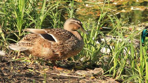 Wild duck Live Action