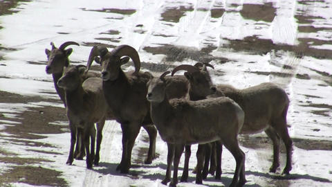 Pack Of Bighorn Sheep stock footage