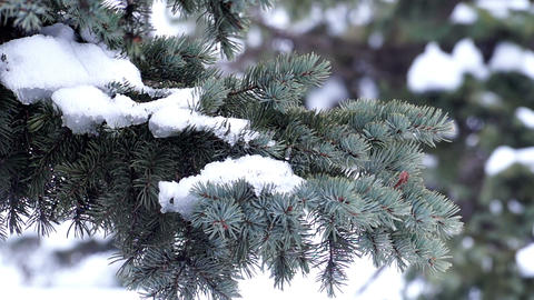 Fur-Tree Branch with Snow Footage