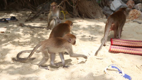 monkey find food among other monkeys Footage