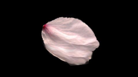 Sakura Petal stock footage