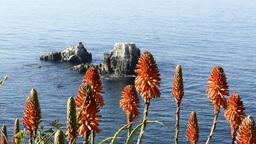 Aloe Vera plants over ocean Footage