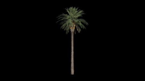 Palm tree 03 in the breeze with alpha perfect for  ビデオ