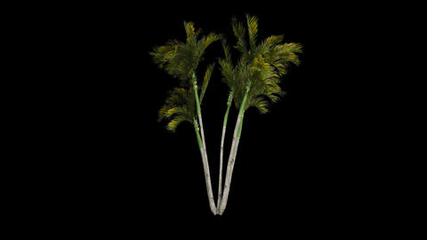 Palm tree 10 in the breeze with alpha perfect for  Animation
